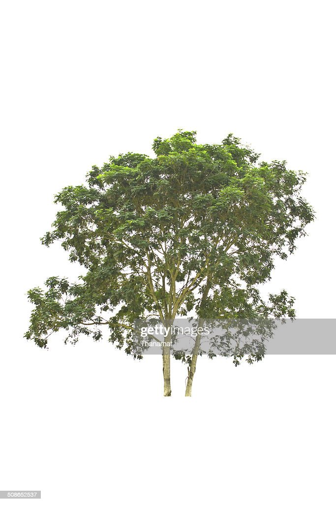 Tree isolate on a white background : Stock Photo