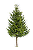Close up of coniferous tree isolated on white background