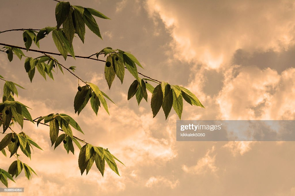 tree leaves   and sky  in sunset : Stock Photo