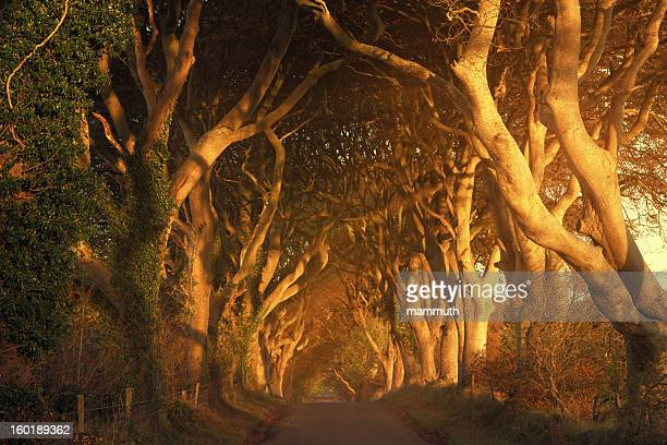 tree lined road at sunrise