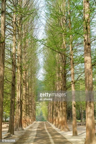 Tree lines on Nami island at springtime