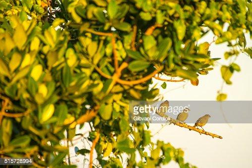 Tree little birds, Rio de Janeiro, Brazil