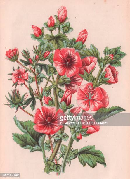 1 Tree mallow 2 Marsh mallow 3 Hispid mallow chromolithograph ca cm 14x22 from The Flowering Plants Grasses Sedges and Ferns of Great Britain by Anne...