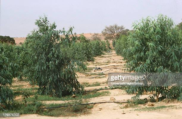 Tree Nursery Niger Tree Planting Must Be Increased By 20 Or 30 Times In The Sahel To Meet Growing Needs For Fuelwood And Timber Villages will have to...