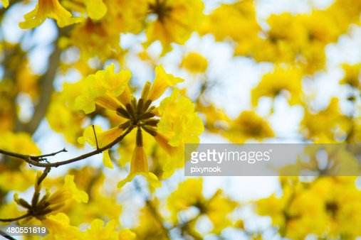 Tree of Gold : Stock Photo