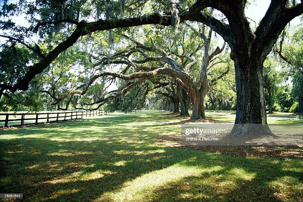 Tree on plantation : Stock Photo