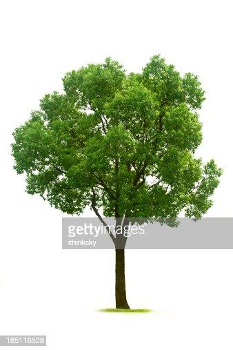 Arbre feuilles caduques photos et images de collection - Arbres a feuilles caduques ...