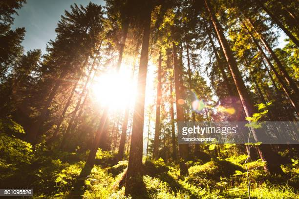 tree pine forest with sun