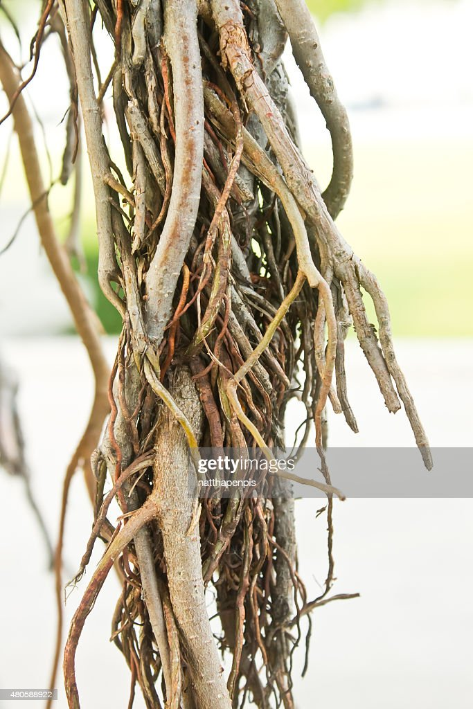 tree roots : Stock Photo