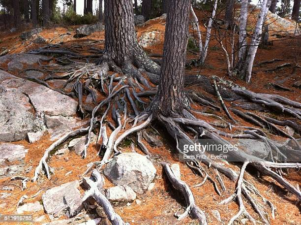 Tree roots spreading in forest