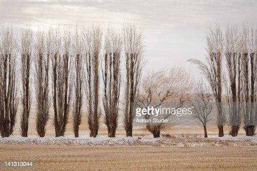 Tree Row : Stock Photo