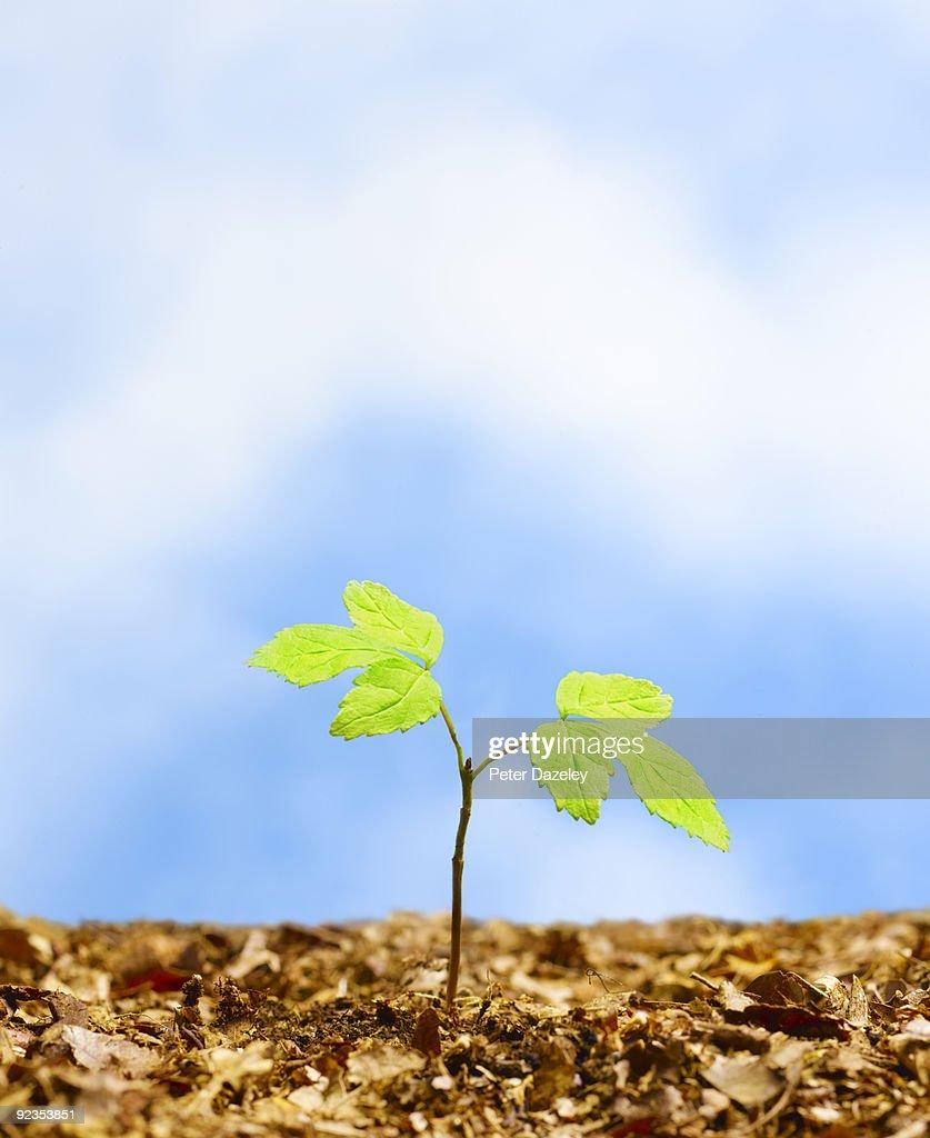 Tree sapling against sky. : Stock Photo