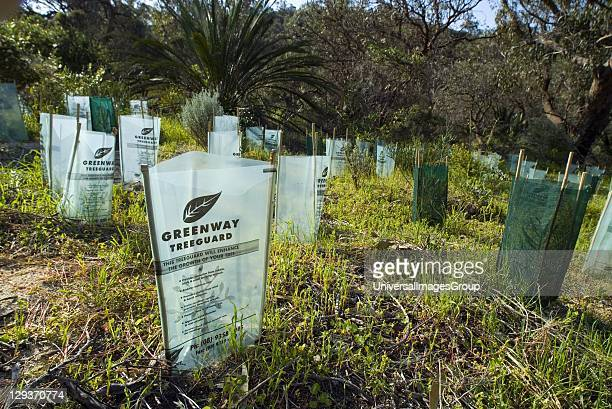 Tree saplings protected by treeguards in suburban bushland restoration project Bold Park Perth Western Australia