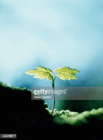 Tree seedling, close-up : Stock Photo