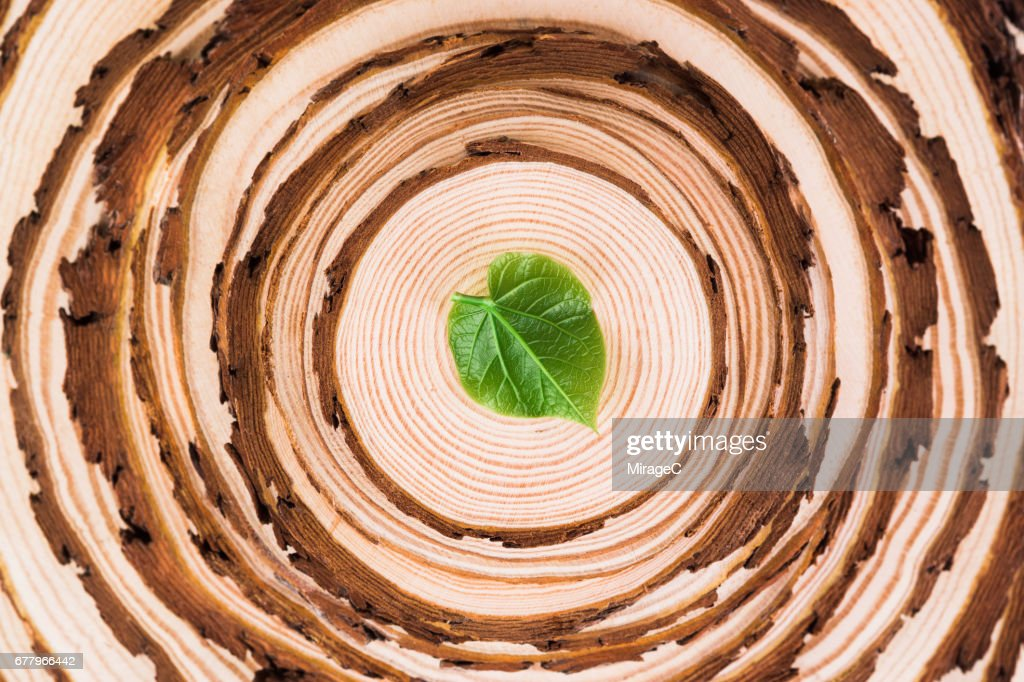 Tree Slices Rings With A Leaf On The Top : Stock Photo
