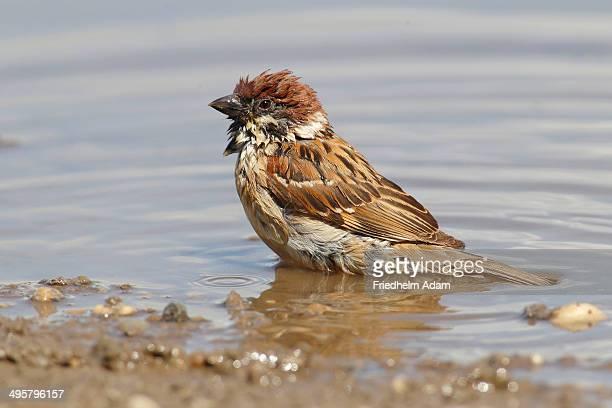 Tree Sparrow -Passer montanus- in a puddle, Apetlon, Burgenland, Austria