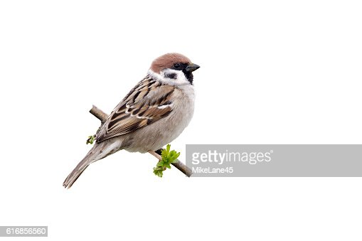Tree sparrow, Passer montanus : Stock Photo