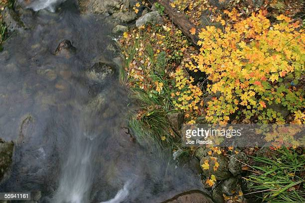 A tree sports colorful leaves as a stream flows past October 17 2005 near North Conway New Hampshire The fall foliage season has gotten off to a slow...