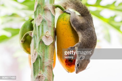 Tree squirrel feeding : Stock Photo