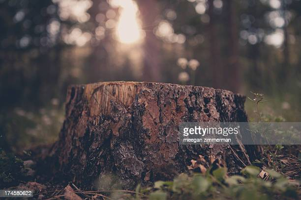 Tree stump in evening light