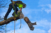 A tree surgeon fells a diseased Chestnut tree by the technique known as sectional dismantling where the tree is felled one piece at a time, as is shown here with a cut bough section being dropped to t