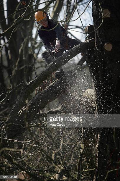 A tree surgeon cuts branches from a horse chestnut tree as he prepares it to be felled after it was identified as being infected with bleeding canker...