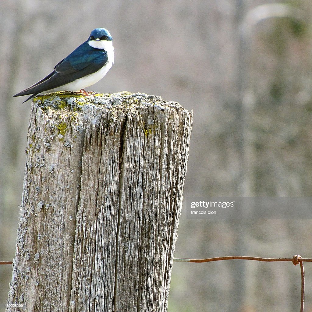 Tree swallow on fence post