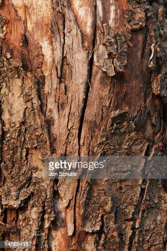 Tree trunk a peeling bark : Stock Photo