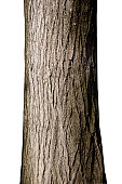 Tree trunk. Photo with clipping path.Similar photographs from my portfolio: