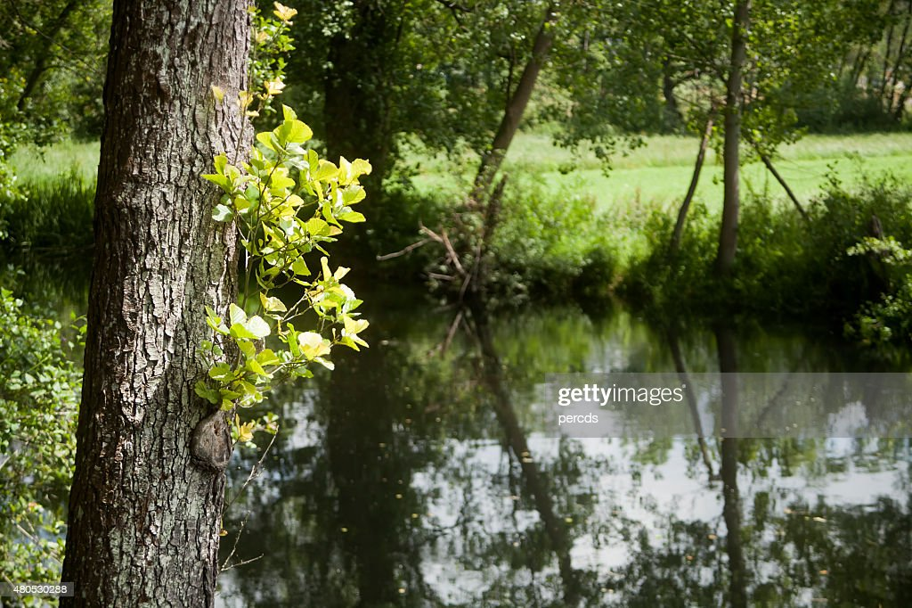 Tree trunks and reflections on a river, alnus glutinosa. : Stock Photo