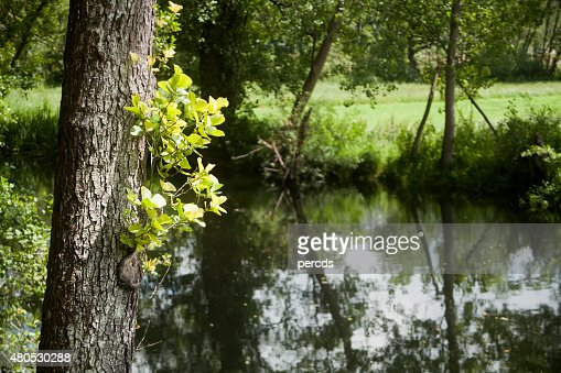 Tree trunks and reflections on a river, alnus glutinosa. : Stockfoto