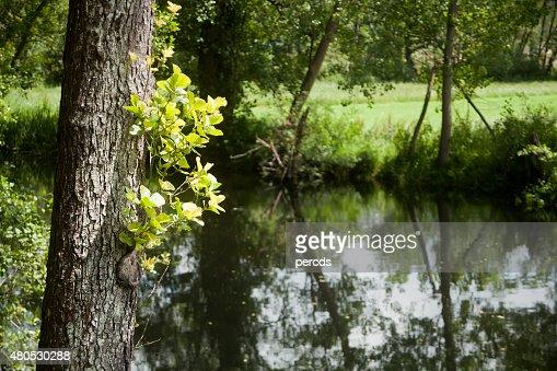 Albero costumi da bagno e riflessioni su un fiume alnus glutinosa. : Foto stock