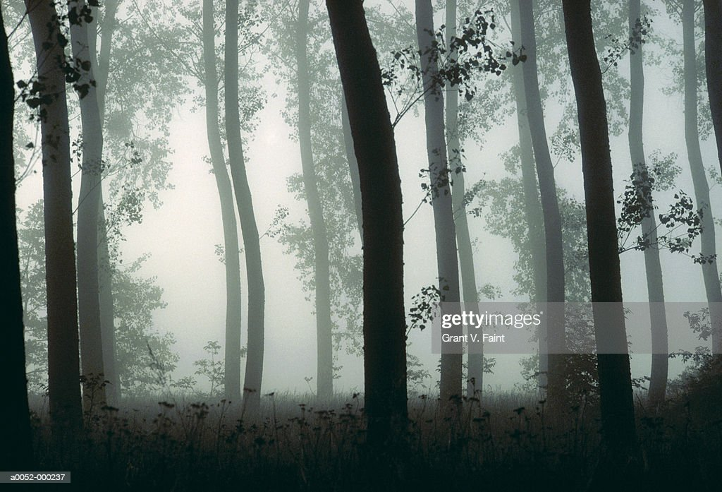 Tree Trunks in Foggy Forest : Stock Photo