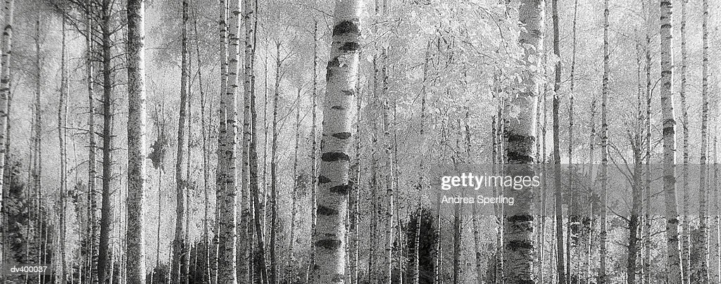 Tree trunks : Stock Photo