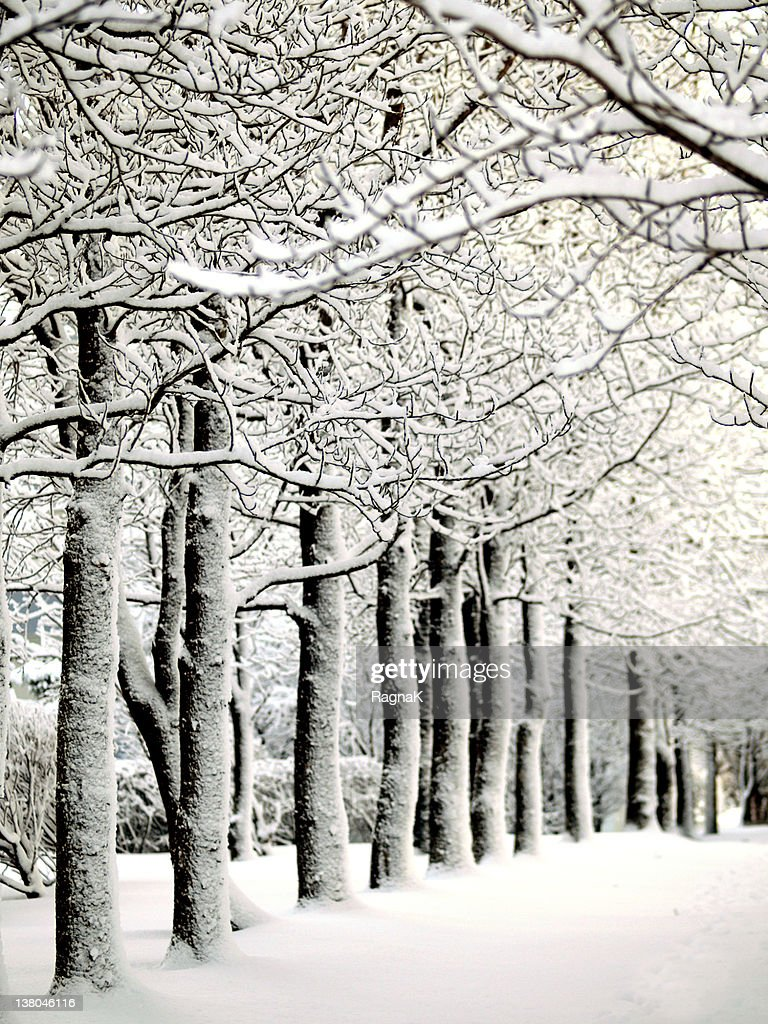 Tree tunnel in winter : Stock Photo