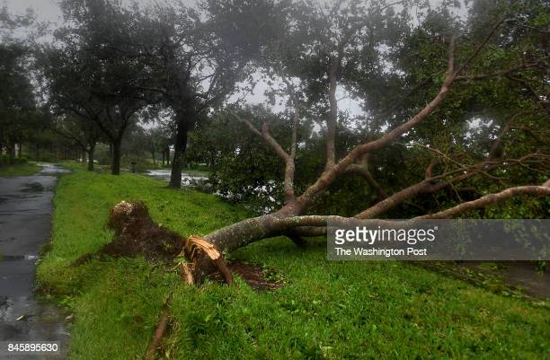 A tree was pushed over and damaged in Estero Florida after Hurricane Irma came through with the lead band of strength A Sunday tour of the area...