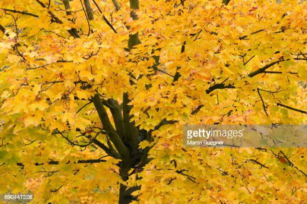 Tree (Acer platanoides / Norway maple) with autumn foliage.