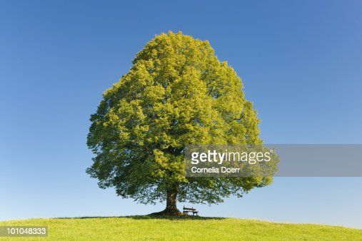Tree with clear blue sky : Stock Photo