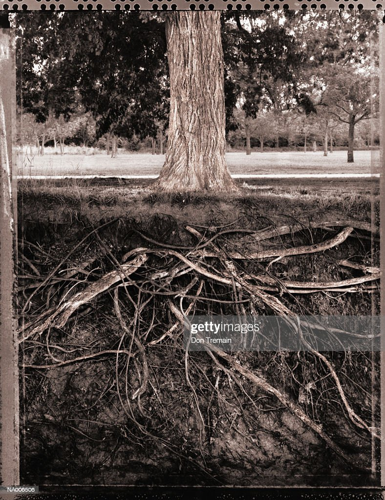 Tree with exposed roots, low section (transfer image, toned B&W) : Stock Photo