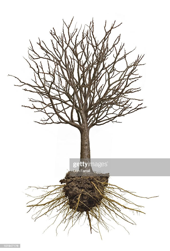 Tree  with exposed roots : Stock Photo