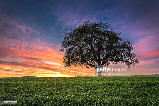 Tree with Ladder at Sunset