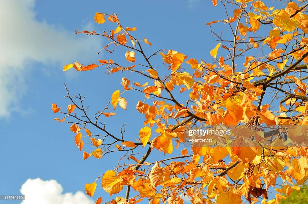 Tree with yellow leaves and blue sky : Stock Photo