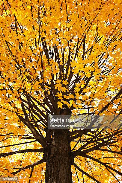 Tree with yellow leaves in Autum