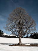 Tree without leafs at winter - Austria Alps