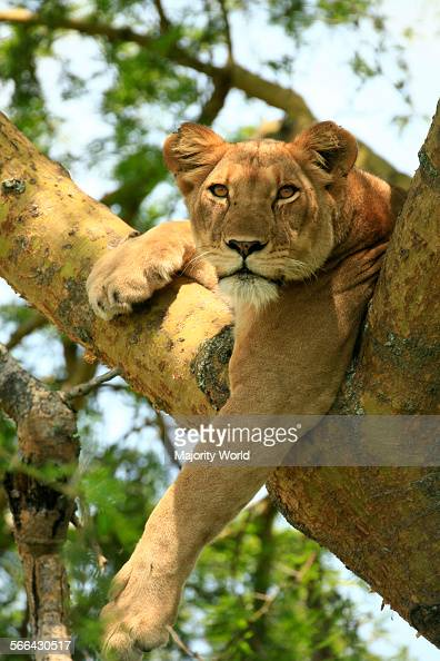 Treeclimbing lions in Ishasha section of Queen Elizabeth National Park in Uganda