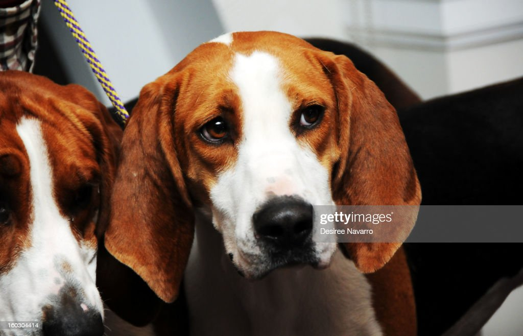 Treeing Walker Coonhound dog 'Tank' attends The Westminster Kennel Club 137th Annual Dog Show - Press Conference at Affinia on January 28, 2013 in New York City.