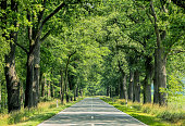 Countryside road with old oak trees in summer sunlight.