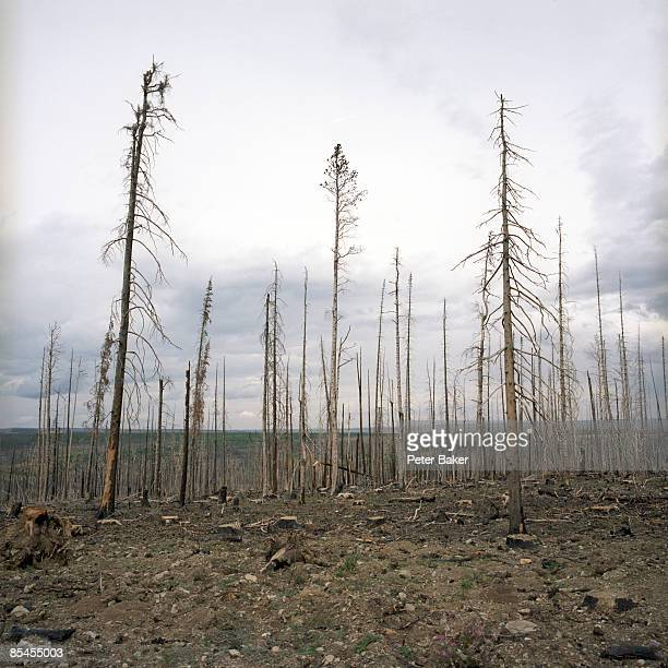Trees after a brush fire in northern Montana