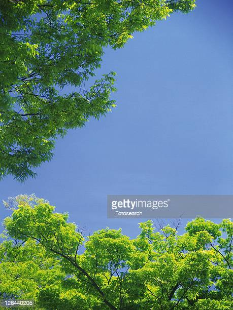 Trees and Blue Sky, Low Angle View, Pan Focus