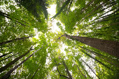 Trees and ivy growing towards the light. Picture of a deciduous forest in summer. Taken with a wide angle lens, looking up towards the tree canopy. The trees have a lush green foliage. Some of the ste